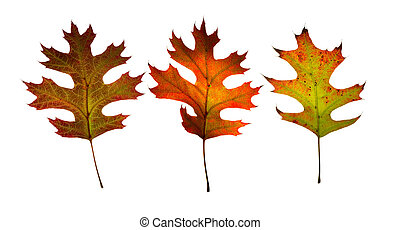 Three fall leaves. Isolated.