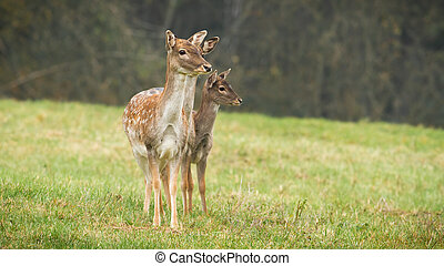 Three fallow deer does standing on a field in autumn nature.