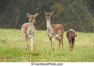 Three fallow deer walking on grass in autumn nature