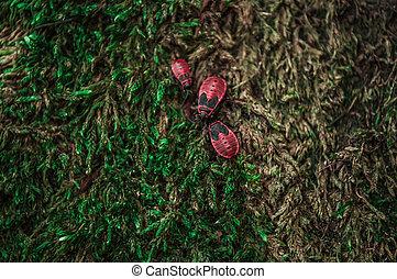 Three firebugs on the green moss