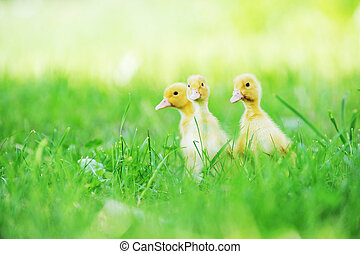 three fluffy chicks walks  in green grass