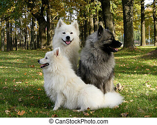 Three fluffy spitzs in the park