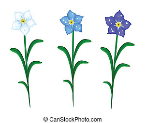 A Symbol of Love, Bright and Beautiful Three Colors of Forget Me Not Flowers Blooming in Spring and Summer