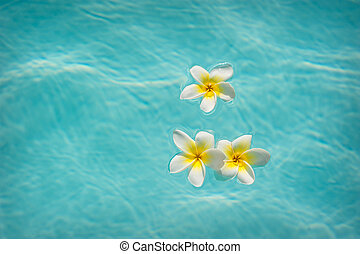 Three frangipanis Floating on Swimming Pool.