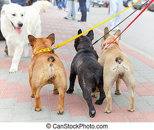 three French Bulldog and labrador retriever
