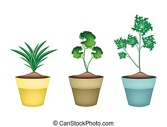 Three Fresh Herbal Plant in Ceramic Flower Pots - Vegetable...
