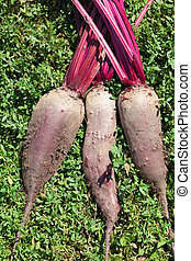 Three fresh organic beetroots