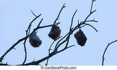 Three Fruit Bats Sleeping Upside Down - Steady, low angle, ...