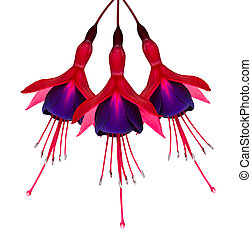 Three Fuchsia Flowers Isolated on White - Three Beautiful...