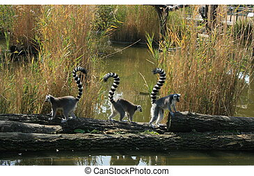 Three funny lemurs - Three funny ring-tailed lemurs (Lemur...