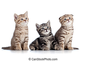 three funny Scottish kittens isolated on white background