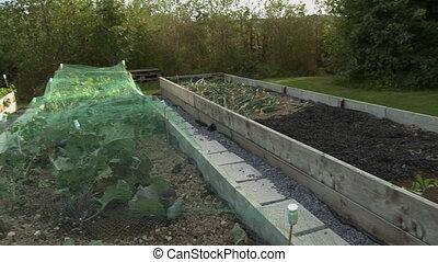 Handheld, panning, medium wide shot of three garden plots in a backyard.