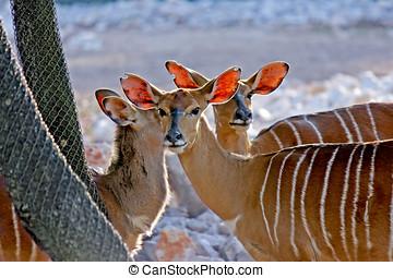 gazelles of Africa - Three gazelles of Africa