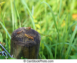 Three geasshopper together sitting on a wooden post at the meadow.