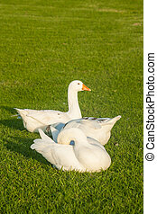 three geese resting on grass