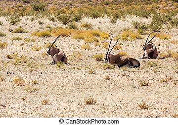Three Gemsbok antelope resting in the Kalahari