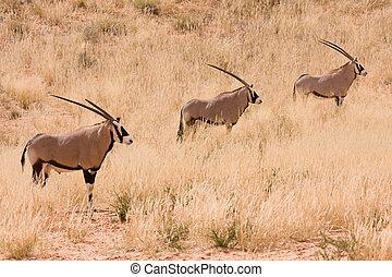 Three Gemsbok Oryx antelope in the Kgalagadi