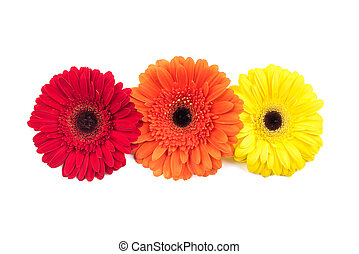Three gerbera flowers isolated on white background.