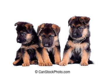 Three German shepherd puppies