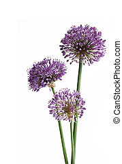 Three Giant Onions (Alium Gigenteum) isolated