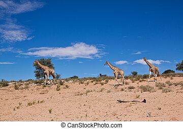 Three giraffe walking in the desert dry landscape
