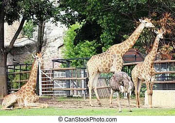 Three giraffes and ostrich