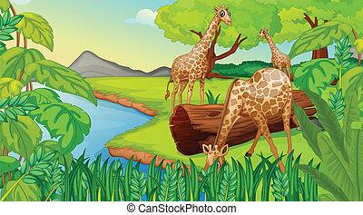 Three giraffes at the riverside - Illustration of the three...