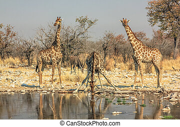 three giraffes drinking
