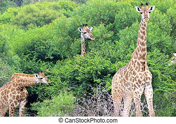 Three Giraffes Eating Leaves