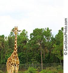 Three giraffes in Serengeti