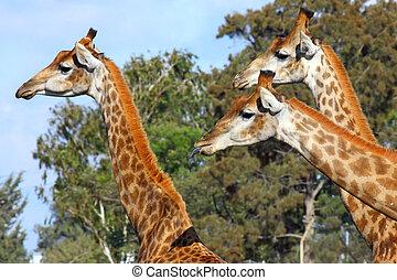 Three giraffes posing