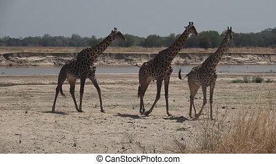 Three giraffes walking in super slow motion