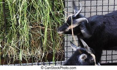 three goat with white stripes eat grass at farm - three...