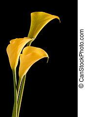 Three Golden Yellow Callas
