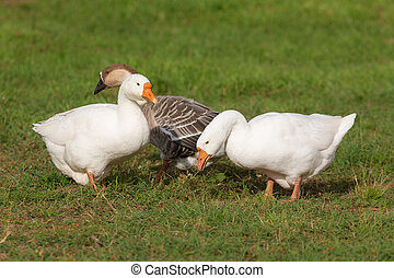 Three goose on grass