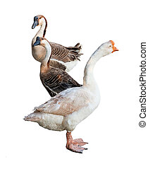 Three goose on white background