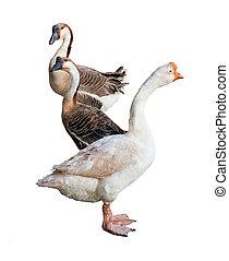 Three goose on white background