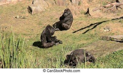 Three Gorillas. - Lowland Gorilla (Gorilla gorilla gorilla)...