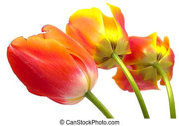 Three gradient warm color tulip