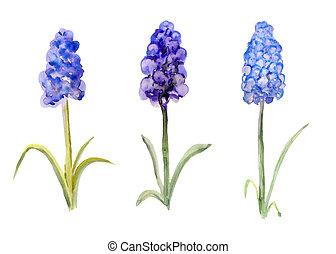 Three grape hyacinth