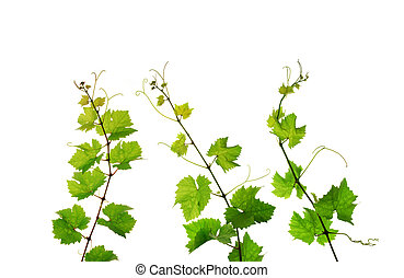 Three grapevine branches