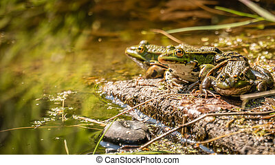 Three green frogs on a rock in the water