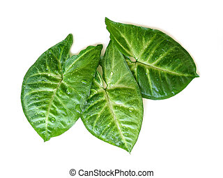 Three green leaves on white