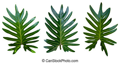 three green leaves on white background.