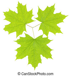 Three green maple leaves on a white background