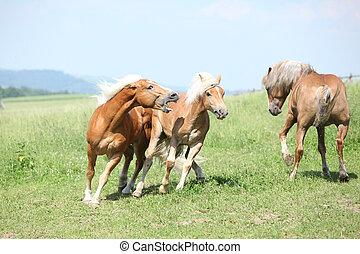 Three haflingers fighting on pasturage in summer
