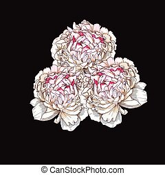 Three hand drawn gently pink peony flowers isolated on black background. Botanical vector