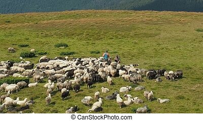 Three herdmen tending a flock of sheep. Herd of sheep...