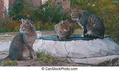 Three Homeless Gray Cats are Sitting on the Street. Stray...