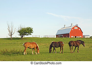 Three Belgian draft horses graze on a farm at Prophetstown State Park, Tippecanoe County, Indiana, with green grass and blue sky